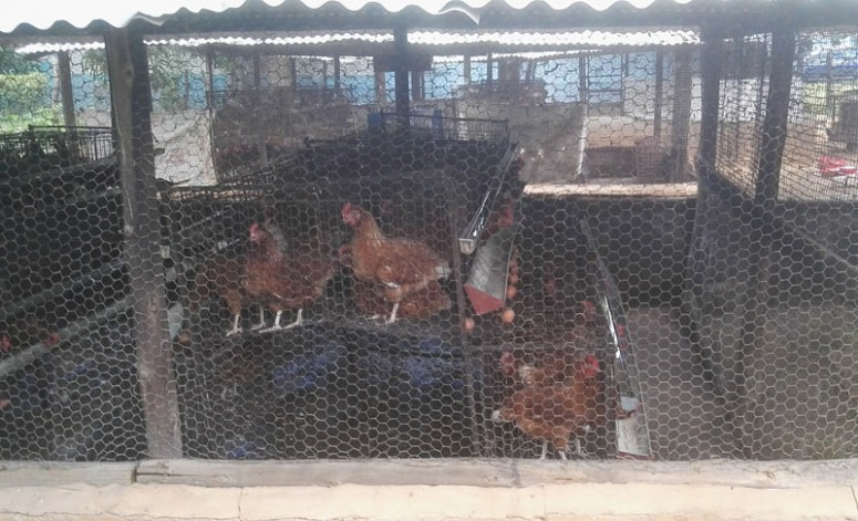 Høns brukes i undervisninga ved lærerutdanninga