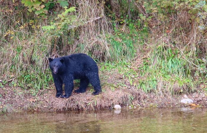 Svartbjørn på vei for å fange laks i elva. foto
