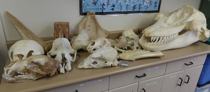 Hodeskaller fra forskjellige dyr. foto