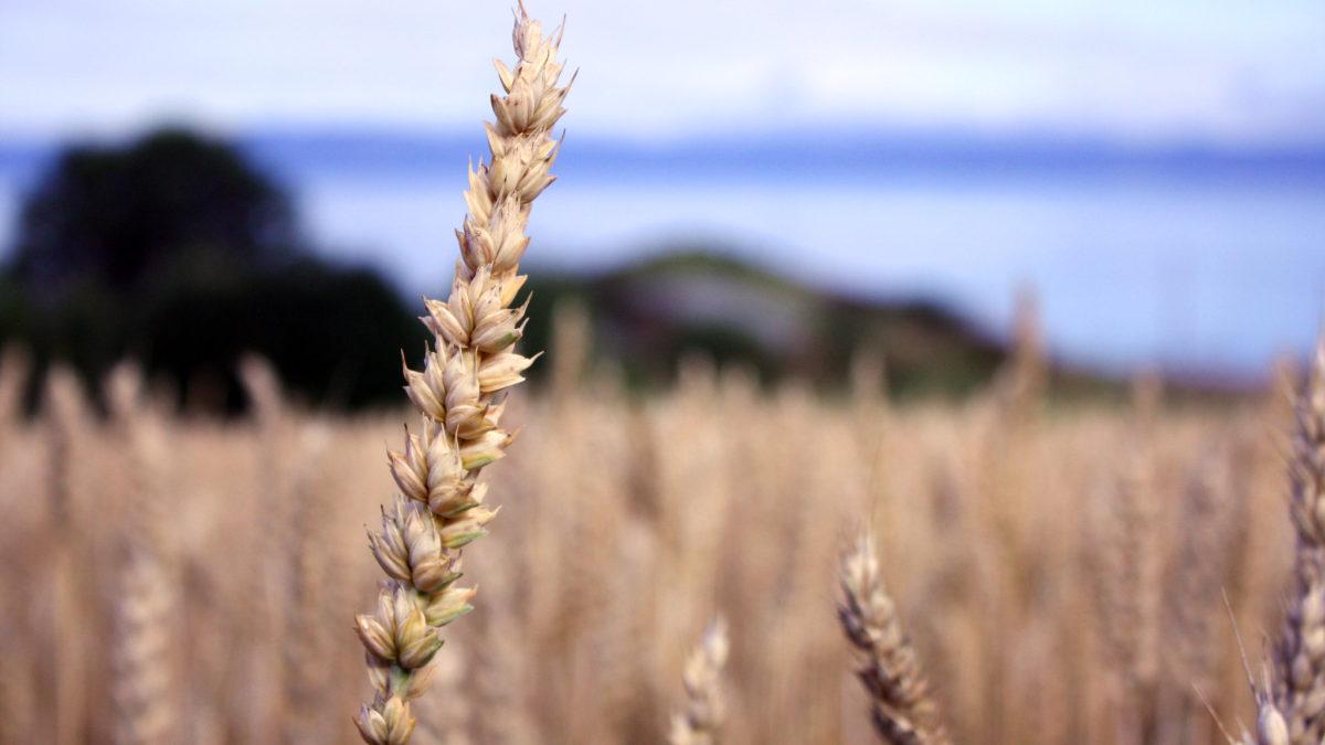 Nærbilde av kornaks på en åker. Foto.