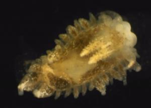 Janolus hyalinus funnet ved Hitra i oktober 2013. Foto tatt i stereolupe med lupekamera.