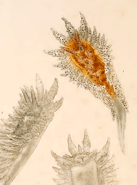 Proctonotus mucroniferus slik illustrert i Alder & Hancock 1845-55