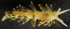 Cuthona caerulea is a nudibranch that sometimes are being observed along the Norwegian coast. This was the first record from Gulen, photographed in the field lab. Photo: Alexander Martynov.