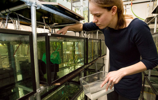Rachael Morgan using a net to catch zebrafish from an aquarium. Photo
