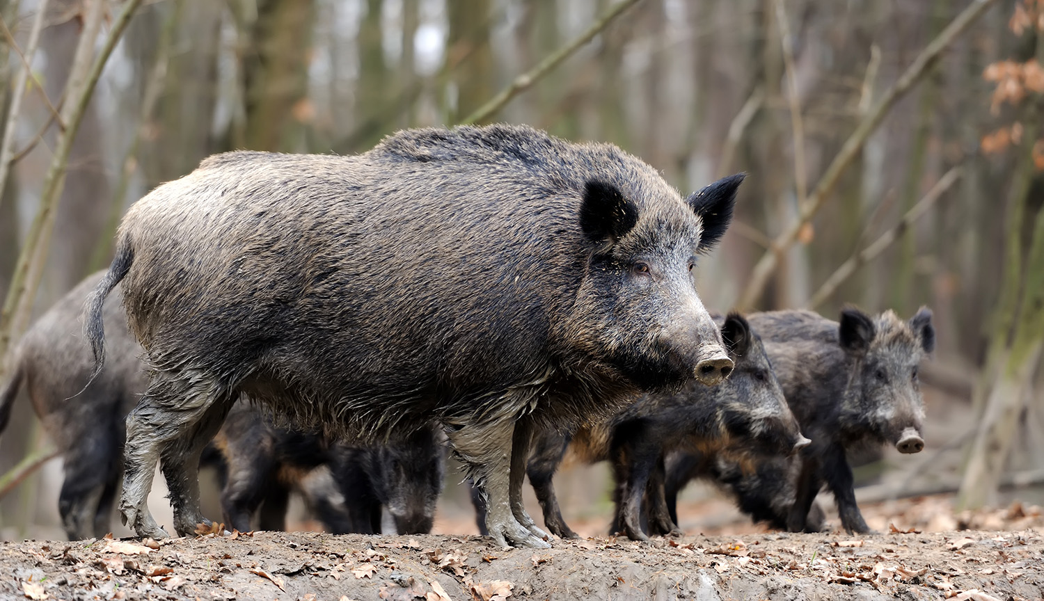 Wild boar with cubs. Photo