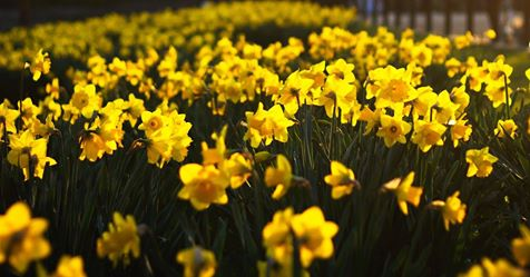 Photo of daffodils in bloom
