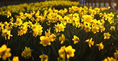 Påskeliljer i full blomst foto