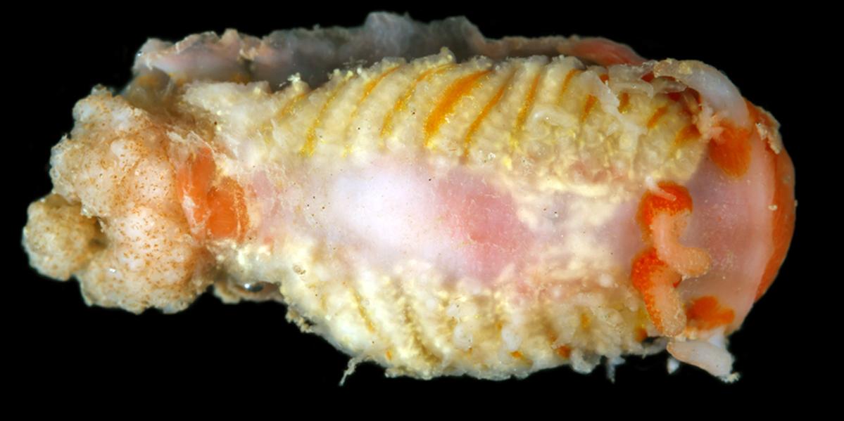 Zeusia – ny nakensnegl fra Bjørnøya