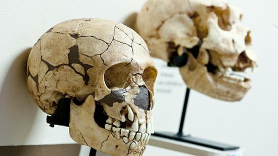 Humankind Two skulls Photo: Åge Hojem