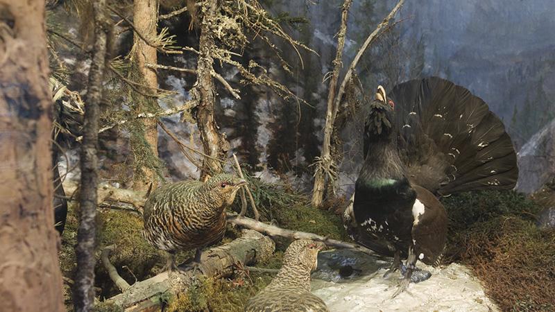 The Trøndelag diorama Photo: Kari dahl