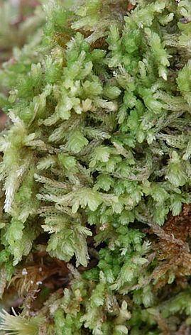 Sphagnum novo-caledoniae. Denne særegne torvmosen er bare funnet på Stillehavsøya Ny Caledonia. Her ble arten gjenfunnet i oktober 2010 i samme området som den ble oppdaget for første gang for et hundre år siden. Foto Kjell Ivar Flatberg.