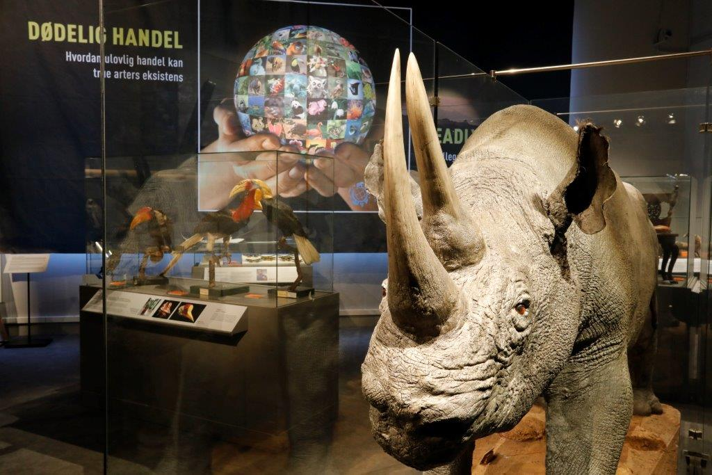 Rhino. Photo: Per Gätzschmann, NTNU University Museum