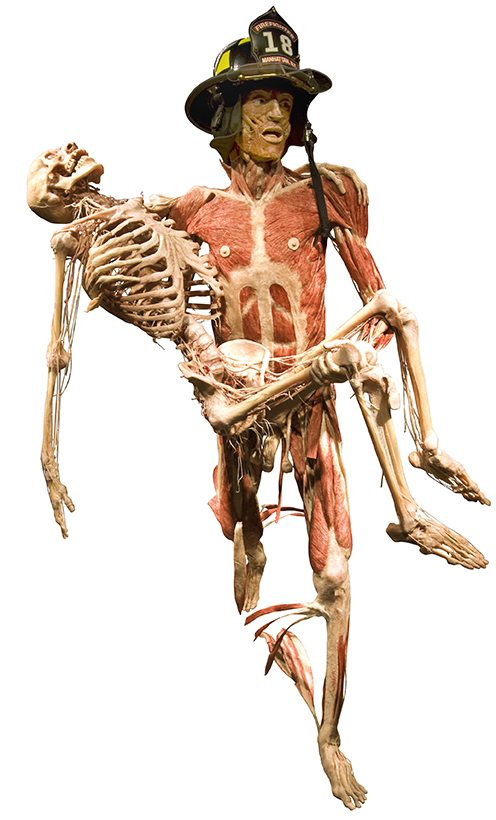 Copyright: Gunther von Hagens' BODY WORLDS, Institute for Plastination, Heidelberg, Germany, www.bodyworlds.com
