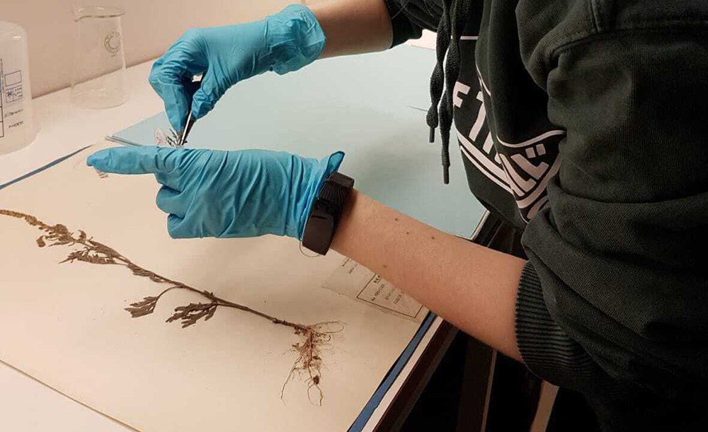 Photo of a plant being glued to a herbarium sheet.