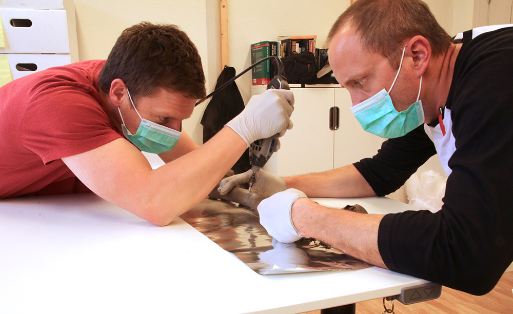 Two researchers with a face masks use a drill to take samples from a bone.