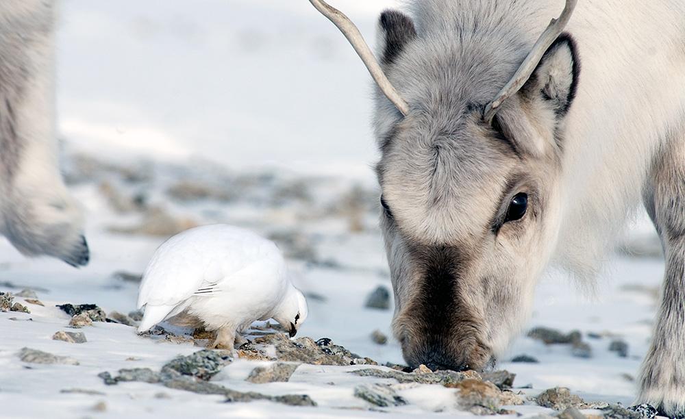 Svalbard reindeer and lagopus.