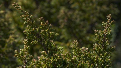 Kongsvoll alpine garden Alpine juniper Photo: NTNU University Museum