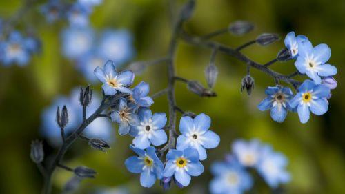 Kongsvoll alpine garden Myosotis decumbens Overview Photo: NTNU University Museum