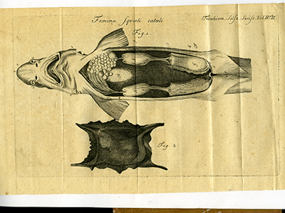 DKNVS Skrifter, tegnet fisk med innvoller. Foto: NTNU Universitetsbiblioteket