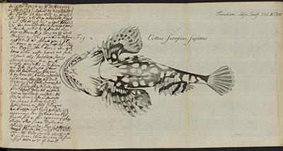 Gunnerus, Skrifter 1765, håndskrift og tegning av fisk. Foto: NTNU Universitetsbiblioteket