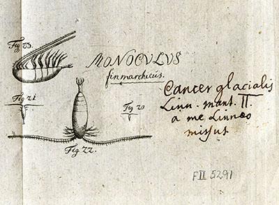 Gunnerus, håndskrift og tegning av rauåte 1770. Detalj. Foto: NTNU Universitetsbiblioteket