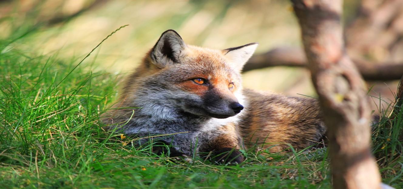 Rev sitter i gress. Foto.