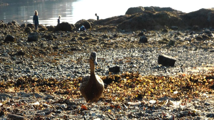 Duck looking towards the camera, people are in the background among rocks and water. Photo.